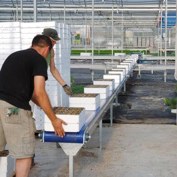 Lavoro di carico seminiere in serra con nastri NTI